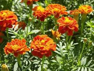 फूल Phull